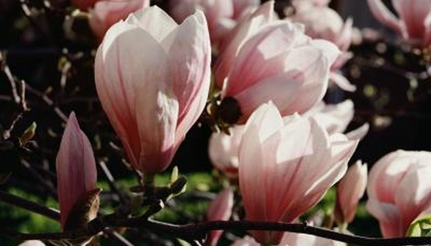 Some magnolias don't bloom until they're around 25 years old.