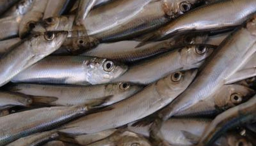 Anchovies are a favourite for the South American Humboldt and African penguins.
