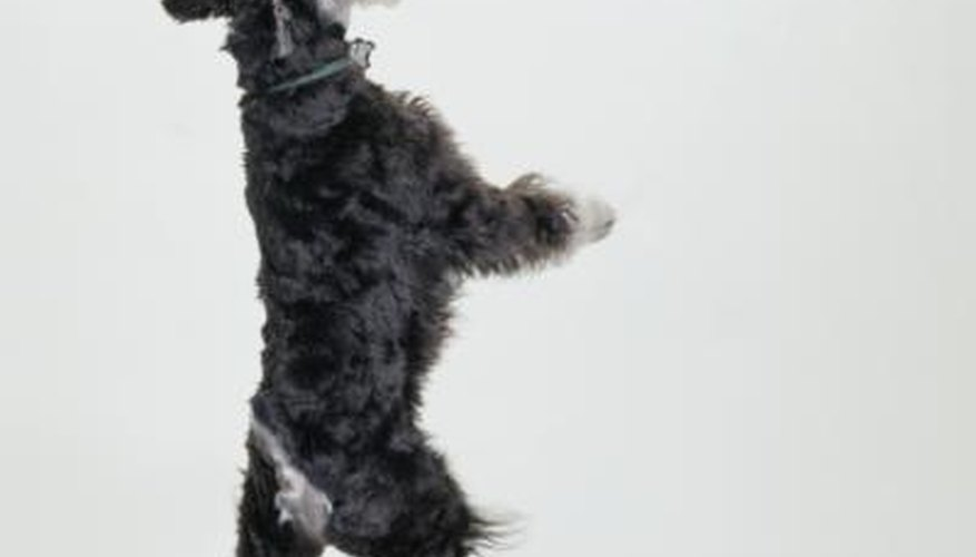 Miniature schnauzers range in height from 12 to 14 inches.