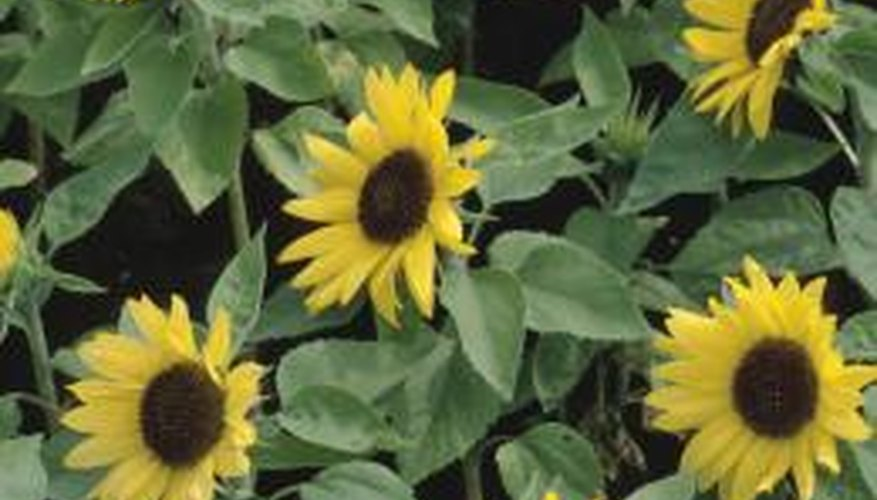 Sunflowers may be plagued by diseases turning the leaves black and ugly.