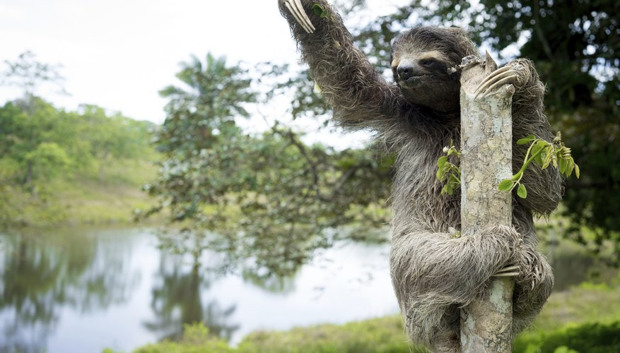 Sloths spend most of their time in trees.