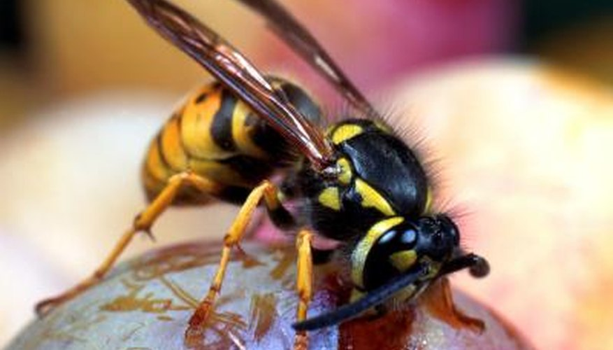 Like other stinging insects, most wasps do not fly at night unless bright light draws them out.