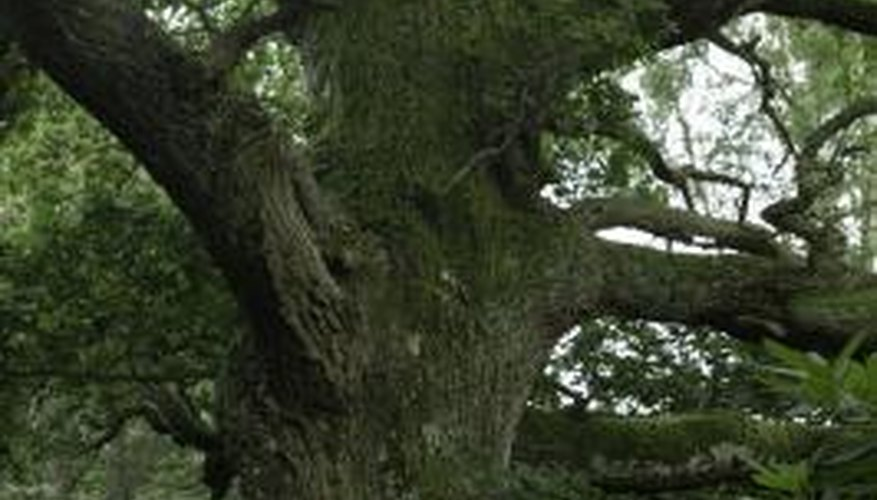 Oak trees produce thick bark, which enables it to withstand forest fires.