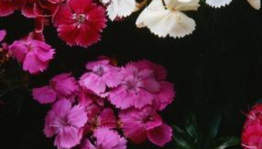 Dianthus resembles its cousin, the carnation.
