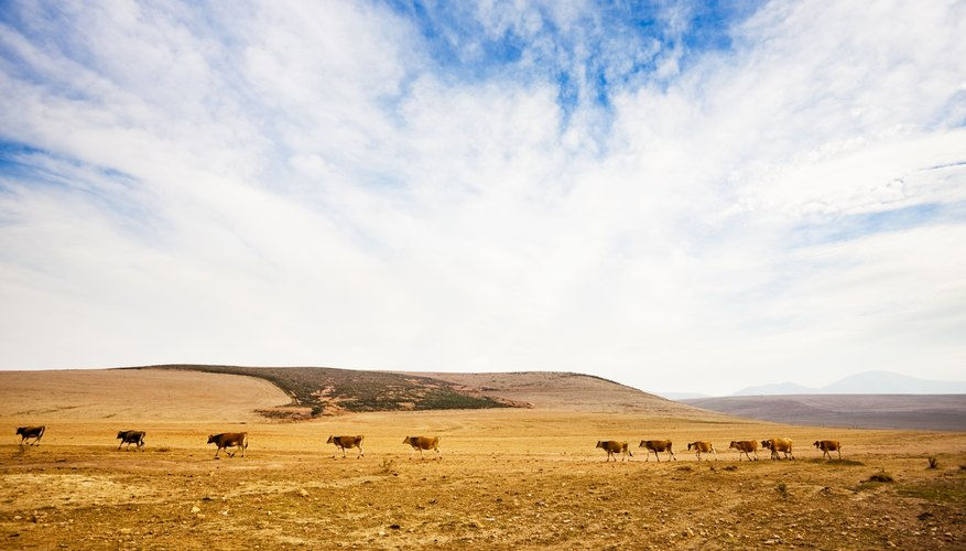 Cattle march across a drought affected landscape