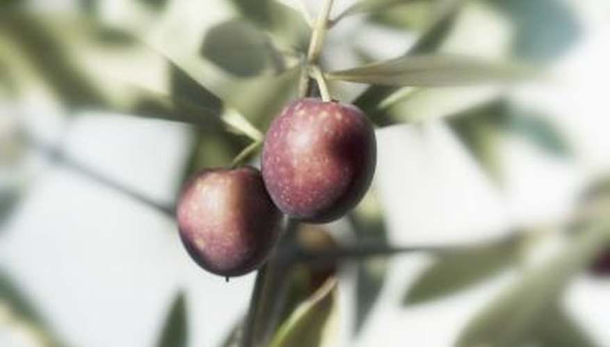 Olive trees require pruning for successful harvests.
