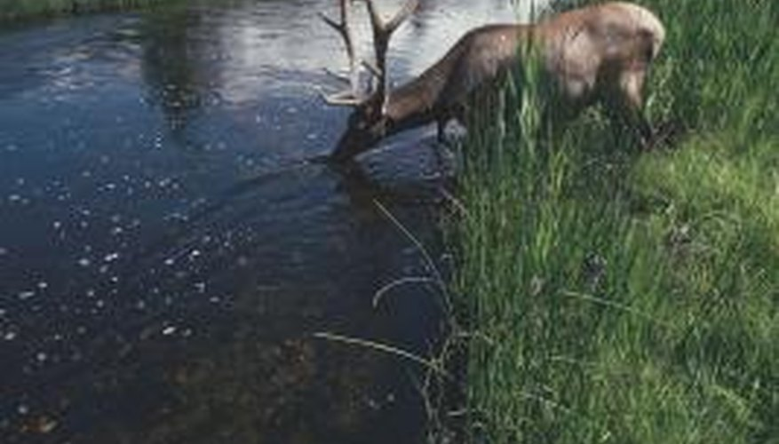 A deer drinking water conveys the stillness and peace of nature.