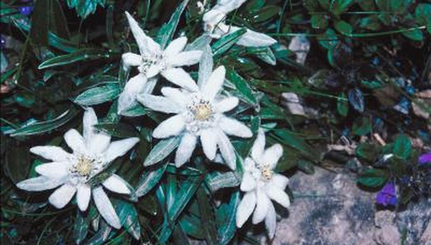 Edelweiss are hardy plants that survive the winter.