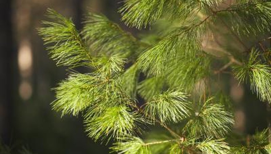 Pine trees have short or long green needles.