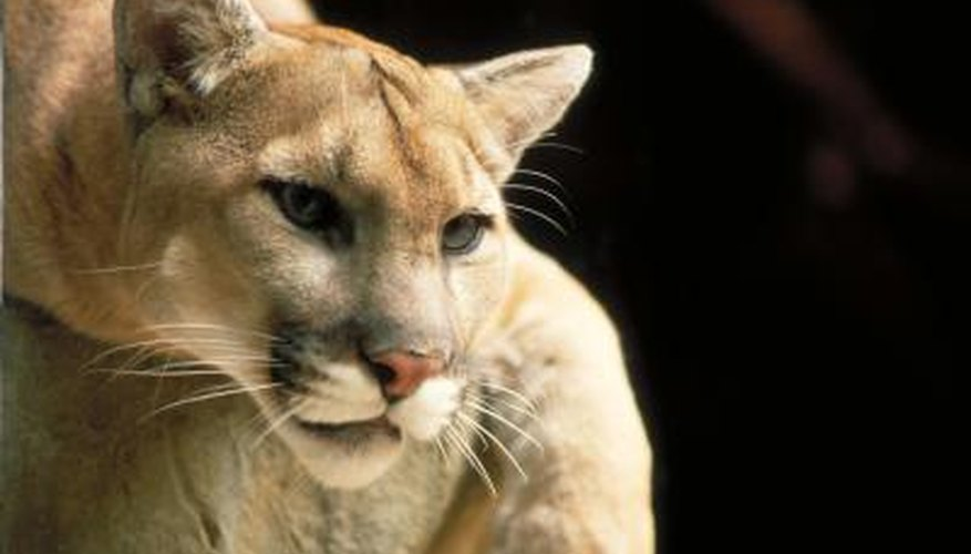 Pumas can measure up to 8 feet from nose to tail.