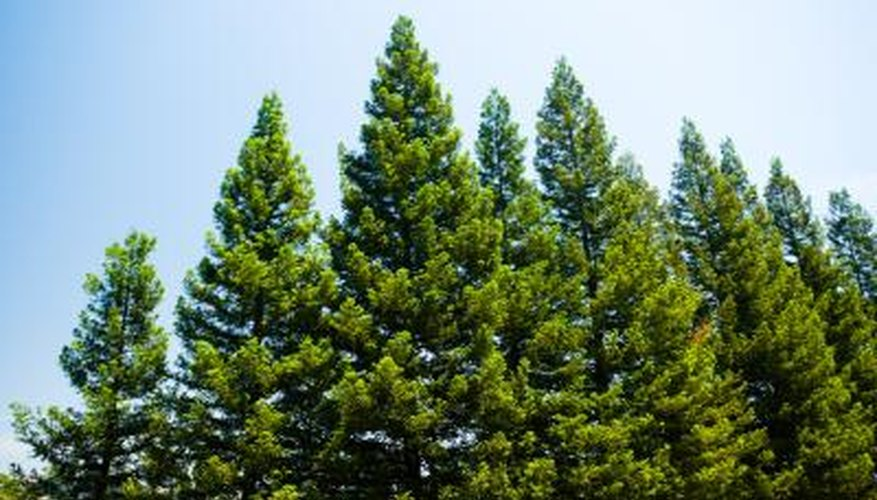 Bring a dying pine tree back to life.