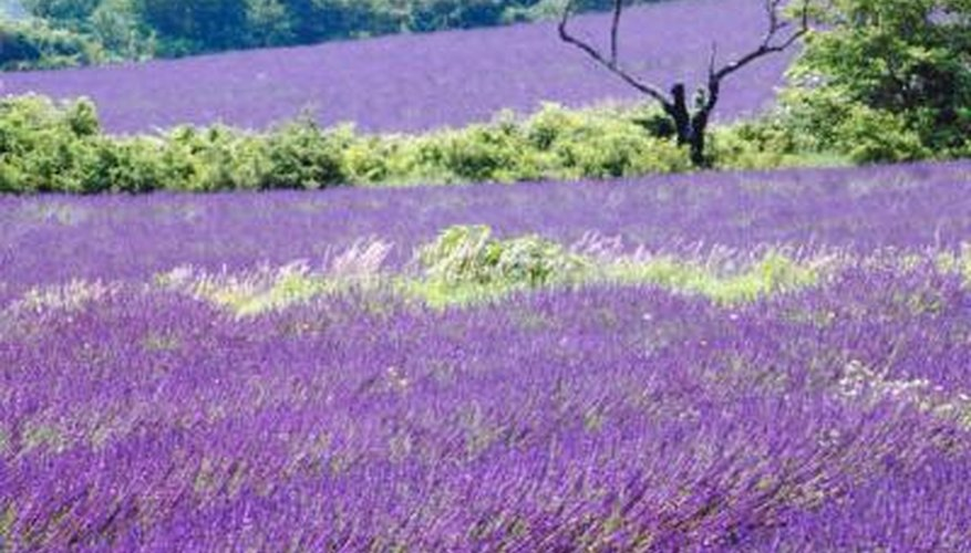 Lavender plants thrive in a dry, hot Mediterranean climate.