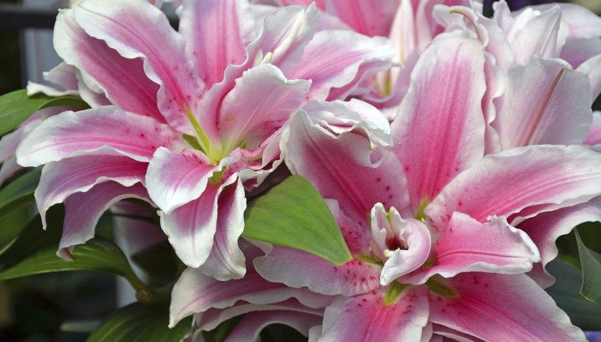 An arrangement of delicate pink stargazer lillies.