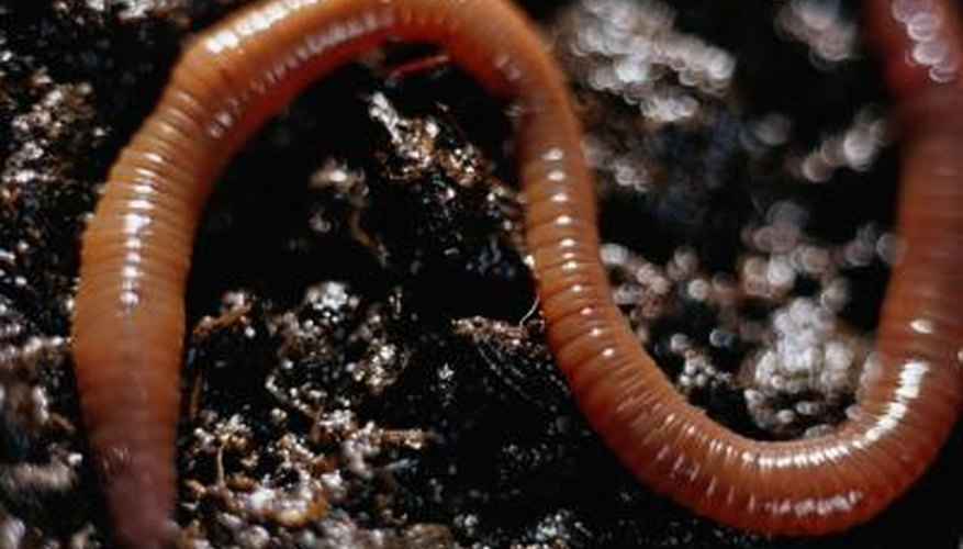 Earthworms are a long-time favourite for fishing bait.