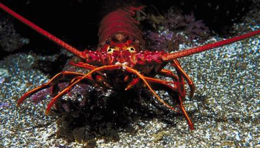You can keep lobsters in a tank at home.