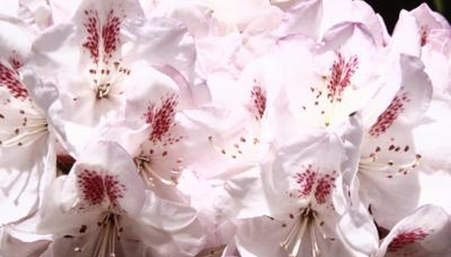 Rhodendrons grow throughout the country and sport a variety of colours.