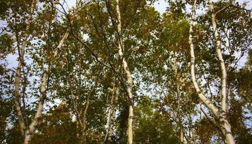Birch leaves may turn brown as a result of an insect infestation.