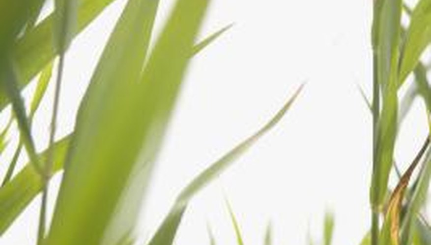 Reed grasses are considered invasive.