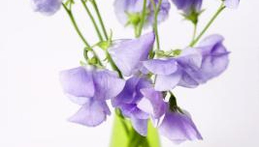 Sweet peas are grown for their scent.