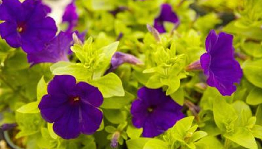 Petunias come in many colours including the vivid purple these petunias boast.