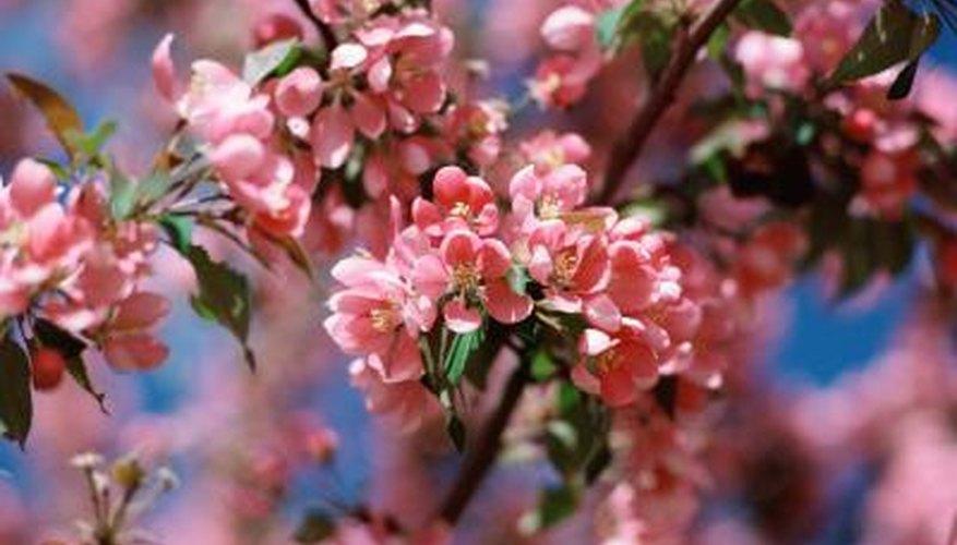 Amanogawa has pink blossoms.