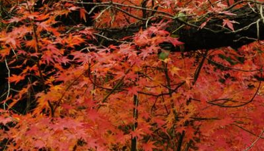 Japanese maples can become the victims of aphids and scale insects.