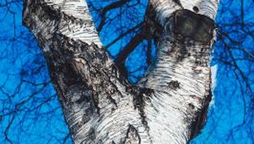 Silver birch trees have a distinctive bark.
