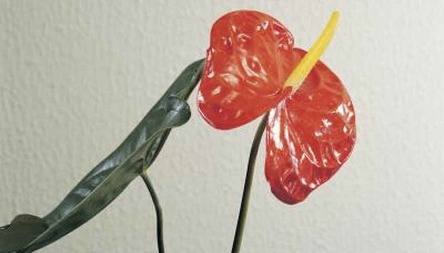 Anthuriums are also known as boy flowers.