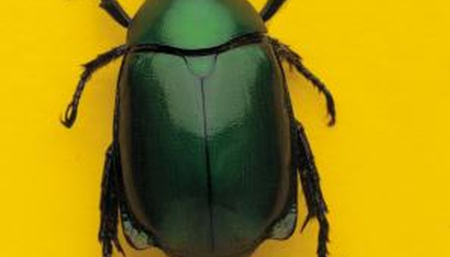 Scarab beetles eat leaves from all sorts of plants.
