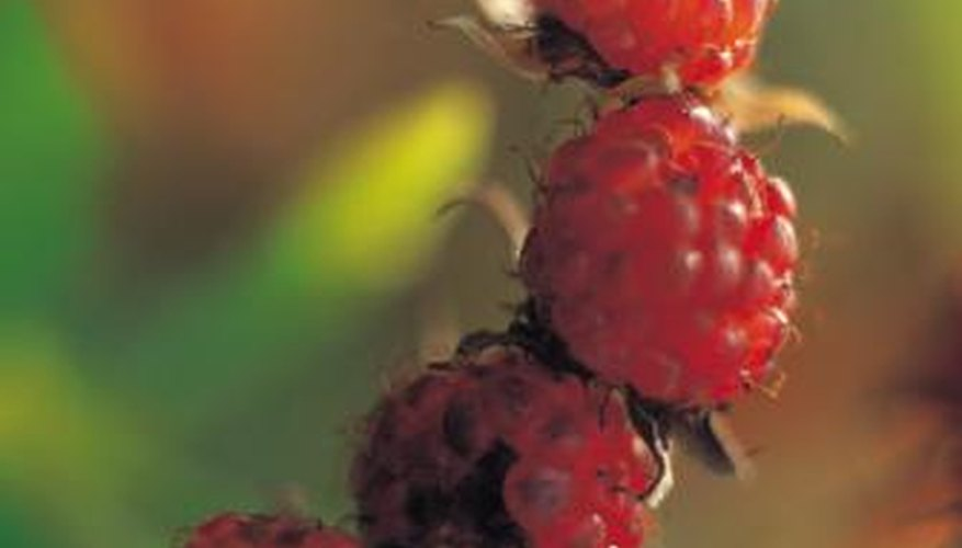 Raspberry leaves should remain green through the growing season.