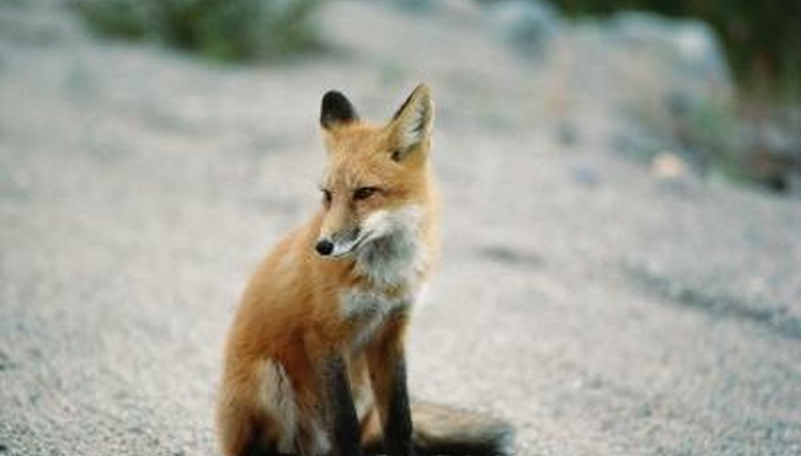 A red fox will prey on your livestock throughout the winter.