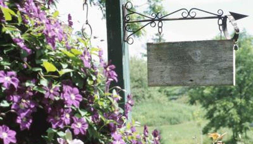Clematis jackmanii produces purple blooms.