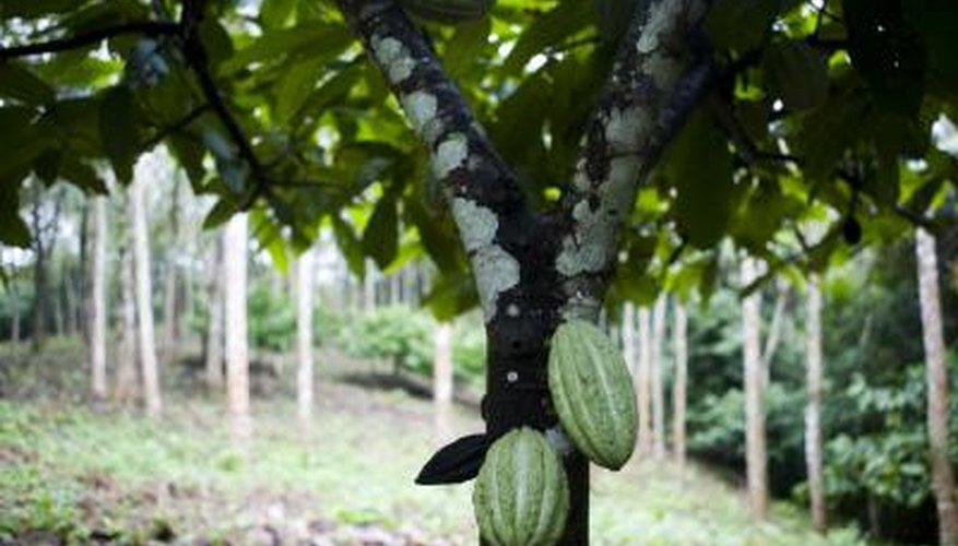 A chocolate tree with ripening pods on the trunk.