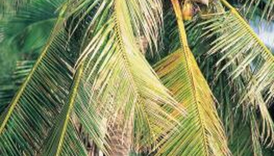 The leafy canopy of a coconut palm is the essence of a tropical landscape.
