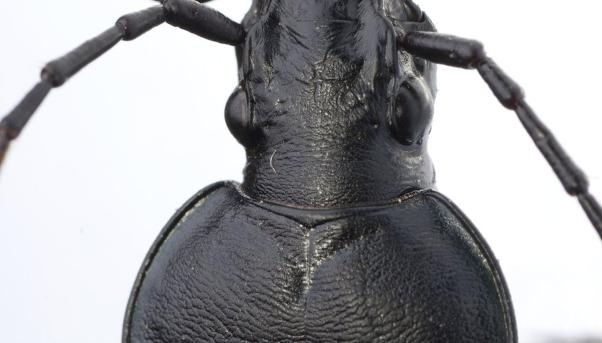 There are many varieties of ground beetle in Europe.