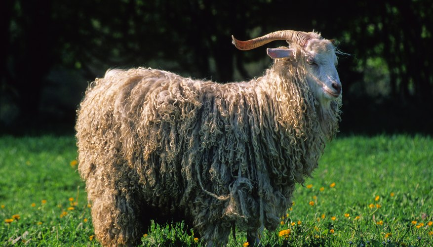 Mohair wool comes from the Angora goat.