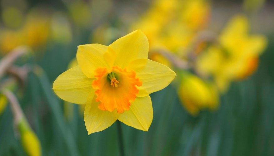 A yellow daffodil.