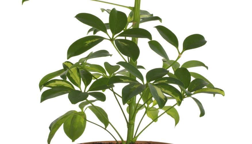 Home gardeners can propagate umbrella plants by cuttings.
