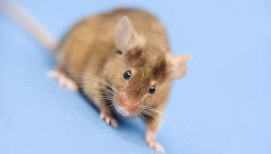 Wild mice can access your home through your chimney.