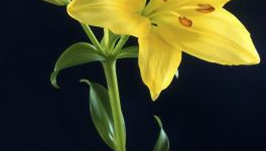 Lilies can be coaxed open with care.