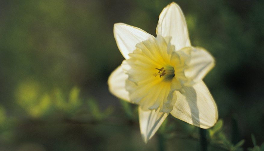 Nemesis turned Narcissus into a flower to punish him for his vanity and selfishness.
