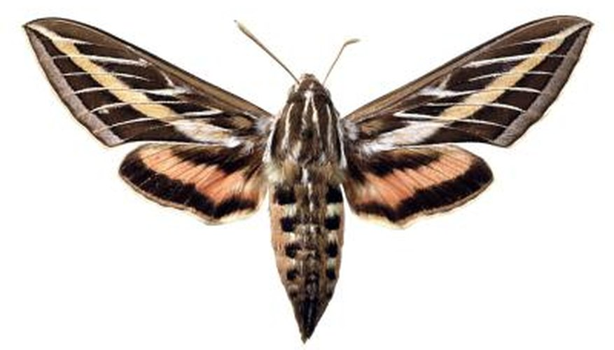 The hummingbird or sphinx moth comes from an underground cocoon.