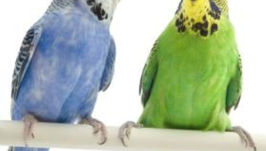 Budgies like to interact with another budgie or their caregiver, while Bourke's are more independent.