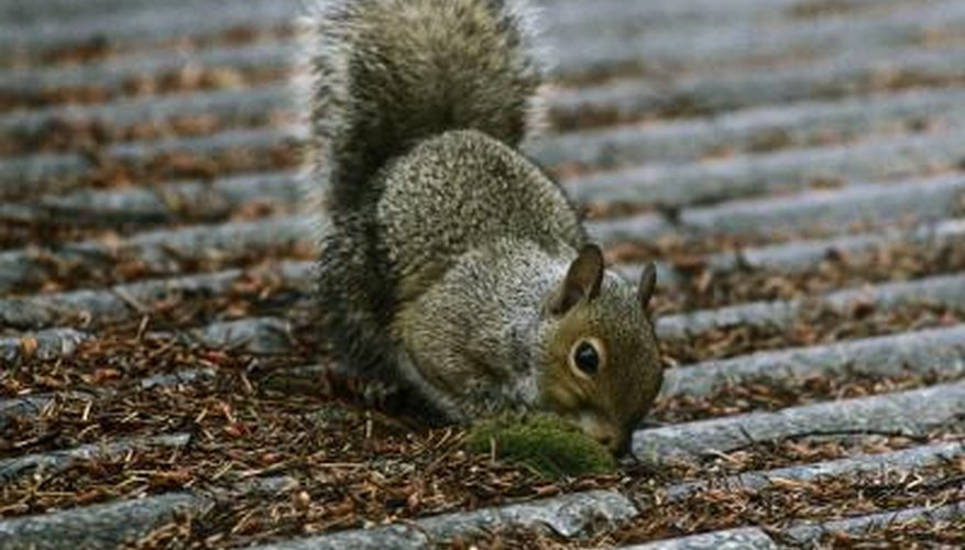 Evict squirrels from your eaves and attic humanely.