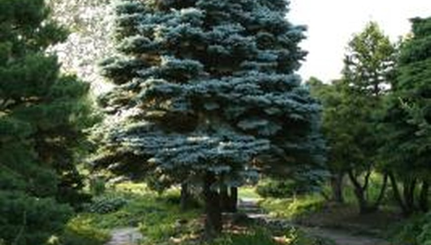 Colorado blue spruce is a popular evergreen landscaping species.
