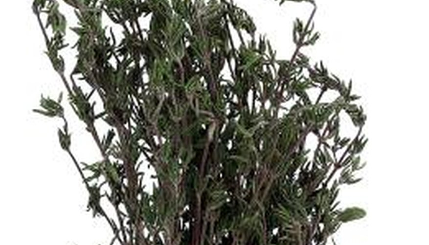 A sprig of rosemary carries a distinctive scent.