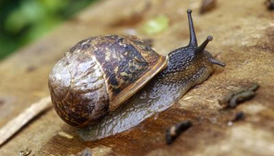 Land snails will hide in their shells when they feel threatened.