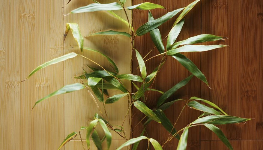 Lucky bamboo is a decoration associated with good luck.