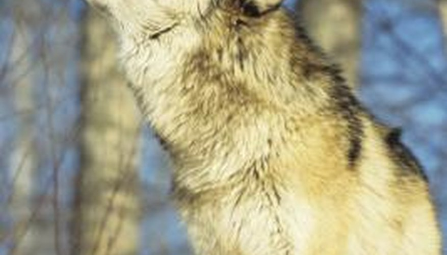 With their striking features, wolves make excellent whittling subjects.