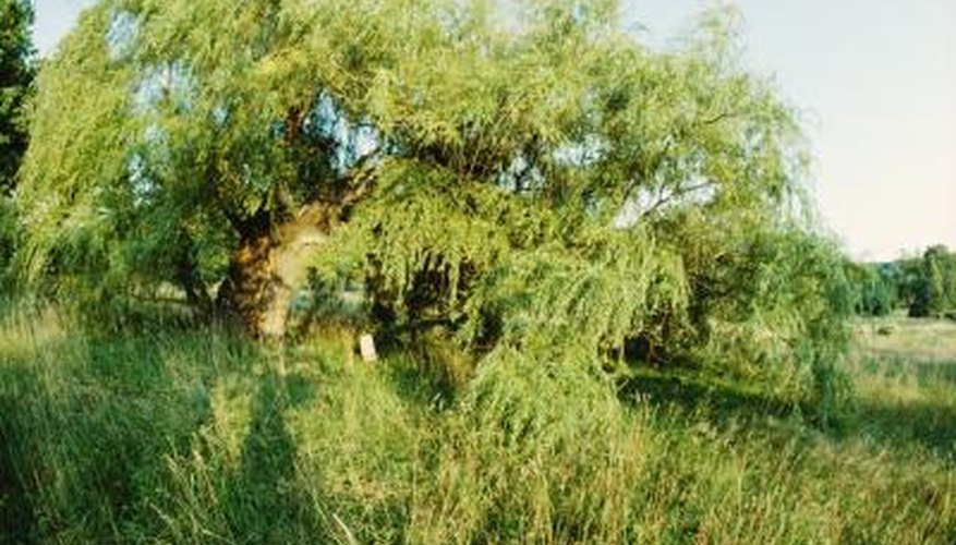 Willows thrive in moist soil, although they tolerate some drought.